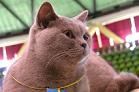 Cat Show Cat
