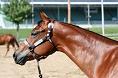 Quarter Race Horse
