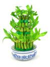 Sophies Lucky Bamboo